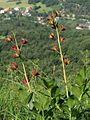 Dictamnus albus PID2056-1.jpg