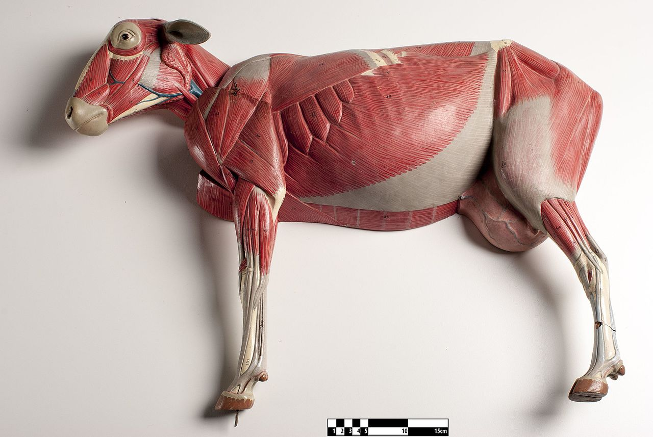 Filedidactic Model Of A Sheep Muscular System Fmvz Usp 15jpeg Squirrel Skeleton Diagram The Greyhound