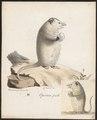 Didelphis opossum - 1700-1880 - Print - Iconographia Zoologica - Special Collections University of Amsterdam - UBA01 IZ20300096.tif