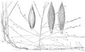 Digitaria arenicola HC-1951w.png