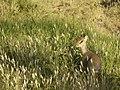 Dikdik, de kleinste van de antilopen (6693818711).jpg