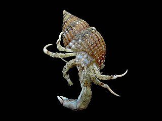 Diogenidae family of crustaceans