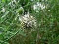 Dipsacus pilosus inflorescence (01).jpg