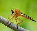 Diptera Asilidae genus Clephydroneura Becker - Champasak Province, Laos - June 2011.jpg