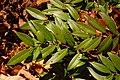 Dog-hobble Leucothoe axillaris Branch 3008px.jpg