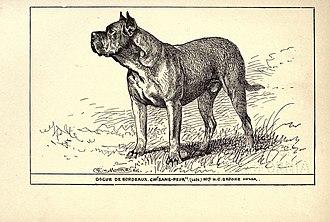 """Dogue de Bordeaux - Dogue de Bordeaux CH """"Sans-Peur"""", 1900."""