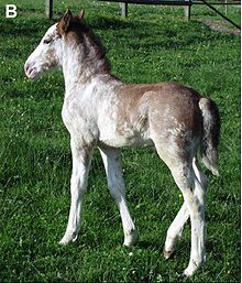 A young foal with a partially white coat. His underlying bay coat is visible along the dorsal midline, especially around the rump and tail, the poll and mane. The transition between white and non-white areas is irregular and mottled.