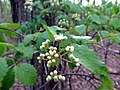Downy Arrowood (Viburnum rafinequianum) Nature Hike Duke Forest Durham NC 0252 (26394908520).jpg
