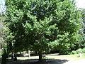 Drexel Park Nuttall Oak.JPG