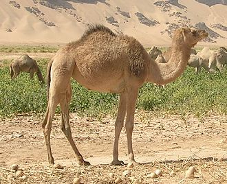 Dromedary - Note the long curved neck, single hump and the long hair on the throat, shoulders and hump of the dromedary.
