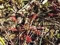Drosera intermedia habitus.jpeg