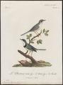 Drymoica thoracica - 1796-1808 - Print - Iconographia Zoologica - Special Collections University of Amsterdam - UBA01 IZ16200047.tif