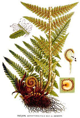 Paraziți de rădăcină de ferigă masculină