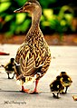 Duck And Ducklings (67293347).jpeg