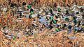Ducks! (8140246311).jpg