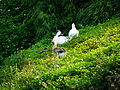 Ducks and Chinese Goose Rest on Dahu Park Lakeside Slope.jpg