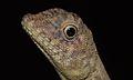 Dusky Earless Agama (Aphaniotis fusca) (8687526719).jpg