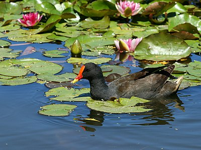 A dusky moorhen glides through some water lilies.