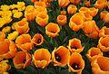 Dutch tulips, Keukenhof park (32653607314).jpg