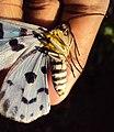 Dysphania percota - The Blue Tiger Moth 03.JPG