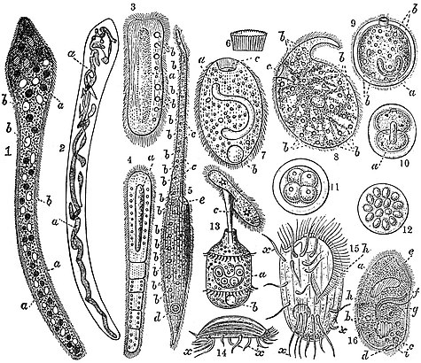 1911 Encyclopædia Britannica/Infusoria - Wikisource, the