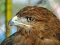 Eagle عقاب 22.jpg
