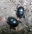 Earth-Boring Scarab Beetles (Geotrupidae) » Geotrupinae » Geotrupes - Flickr - gailhampshire.jpg