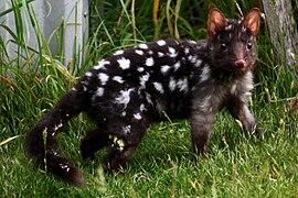 Et si le tigre de Tasmanie ne s'était jamais éteint ? 270px-Eastern_Quoll_%28Black%29