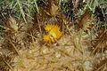 Echinocactus grusonii-IMG 1915.jpg
