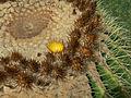 Echinocactus grusonii-IMG 1920.jpg
