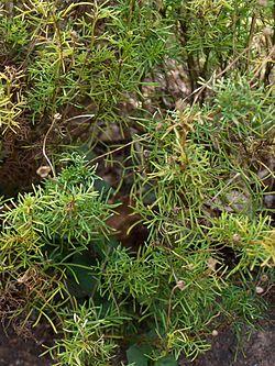 Edmondia pinifolia (Blue Mountains BG).jpg