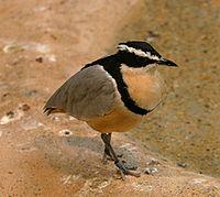Egyptian Plover.jpg