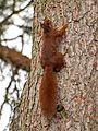 Eichhörnchen am Baumstamm.jpg