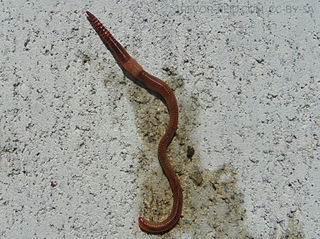 Reddish brown worm with banded segments