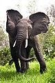 Elephant (25696217).jpeg