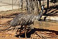 Emu (Dromaius novaehollandiae) drinking water from a water trough 05.jpg
