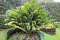Encephalartos ferox-IMG 9675.JPG