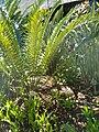 Encephalartos transvenosus KirstenboshBotGard09292010D.JPG