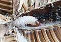 Endothenia gentianaeana larva inside teasel head (16943901072).jpg