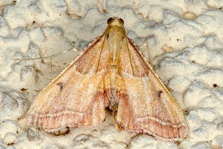 Endotricha flammealis, Lodz(Poland)01(js).jpg