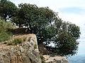 Englerophytum magalismontanum, habitus, b, Skeerpoort.jpg