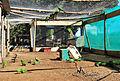 Enicognathus leptorhynchus -Parque Tumbes, Talcahuano, Bio Bio Region, Chile-8a (1).jpg