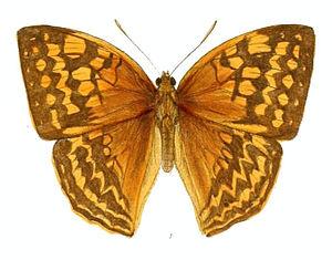 Enispe (butterfly) - Image: Enispe Tessellata 156 1