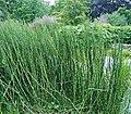 Equisetum giganteum ies.jpg