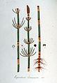 Equisetum limosum — Flora Batava — Volume v6.jpg