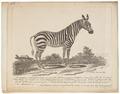 Equus zebra - 1700-1880 - Print - Iconographia Zoologica - Special Collections University of Amsterdam - UBA01 IZ21700083.tif