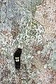 Erasmia pulchella hobsoni (24000487222).jpg