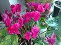 Ericales - Cyclamen persicum cultivars - 8.jpg