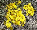Eriophyllum confertiflorum-- Golden Yarrow. (27535218285).jpg