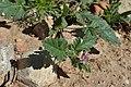 Erodium chium kz05.jpg
